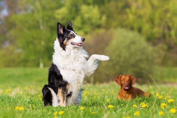 Hund hebt Pfote: Die Vorstehhaltung