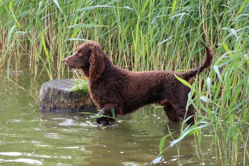 Wasserhunde: American Water Spaniel