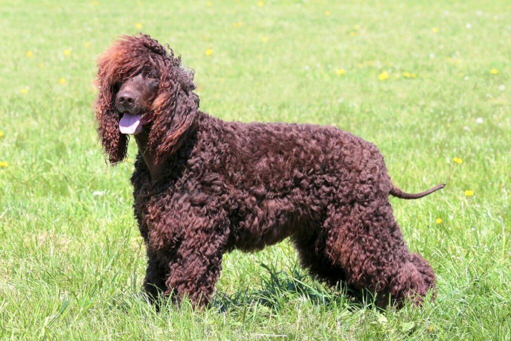 Wasserhunde: Irish Water Spaniel