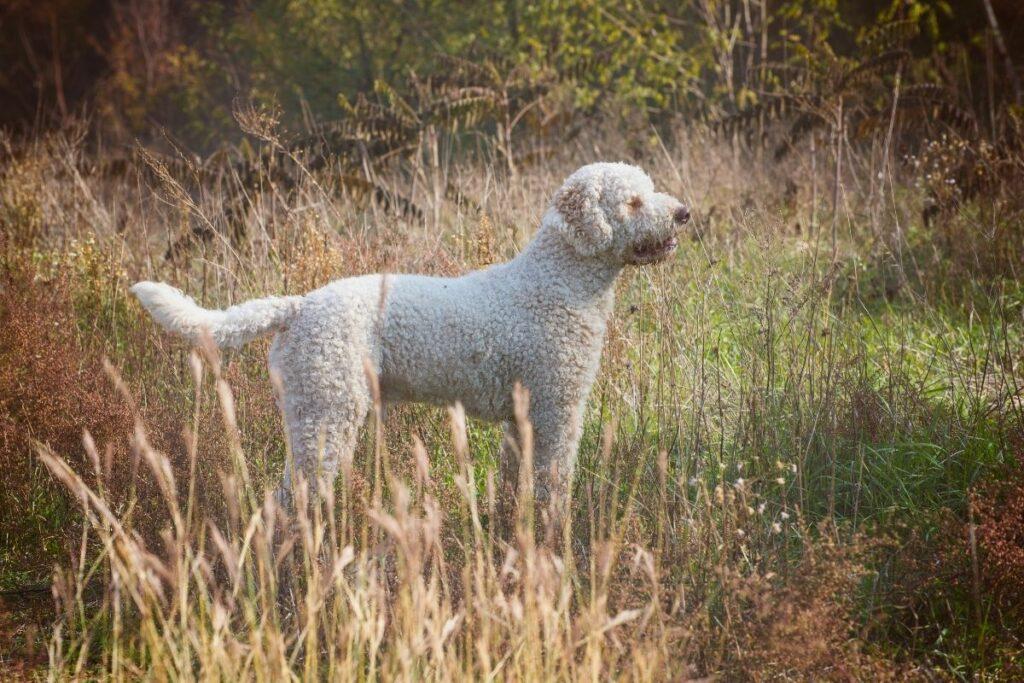 Wasserhunde: Lagotto Romagnolo