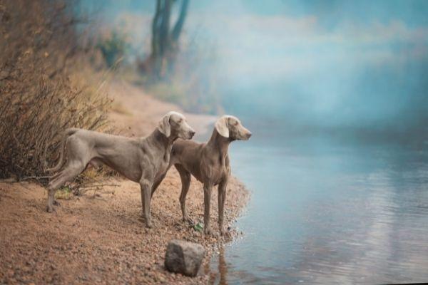 Zwei Weimaraner am Wasser