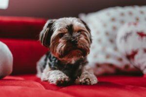 Welpe sitzt auf einem roten Sofa