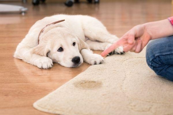 Welpe Nein beibringen: Welpe liegt auf einem Fußboden