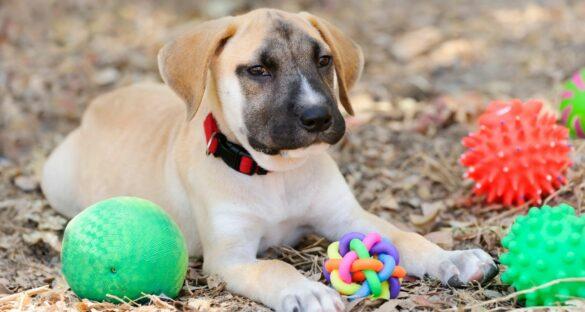 Welpen Erstausstattung: Hund liegt neben Spielzeug