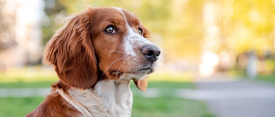 Welsh Springer Spaniel im Park