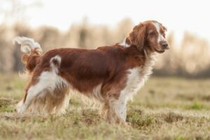 Welsh Springer Spaniel in der Natur