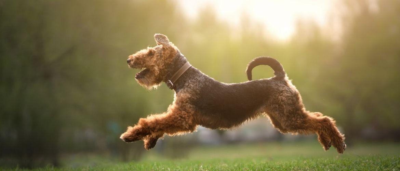 Welsh Terrier im Sprung