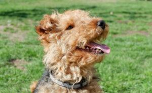 Welsh Terrier Kopf