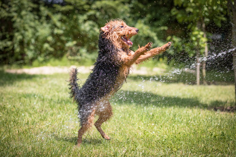 Welsh Terrier spielt mit Wasser