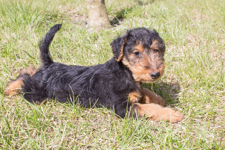 Welsh Terrier Welpe