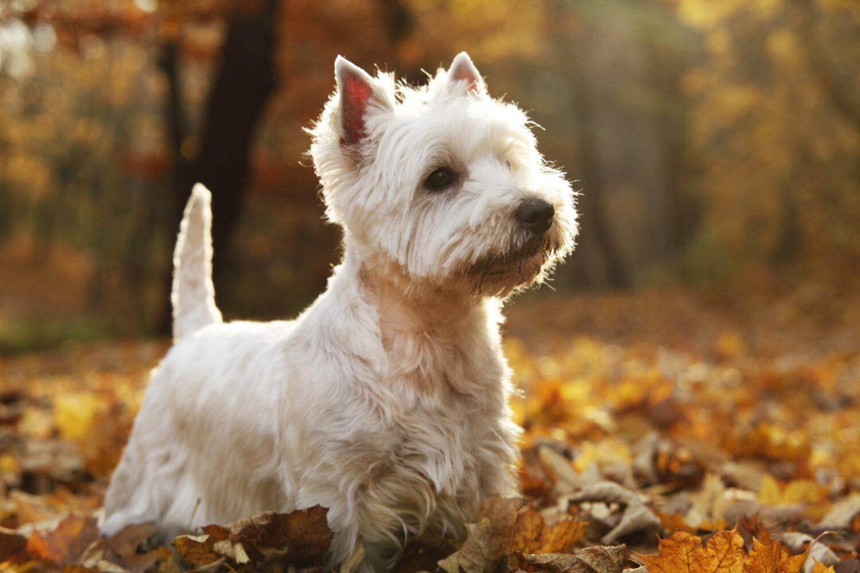 West Highland Terrier im Wald