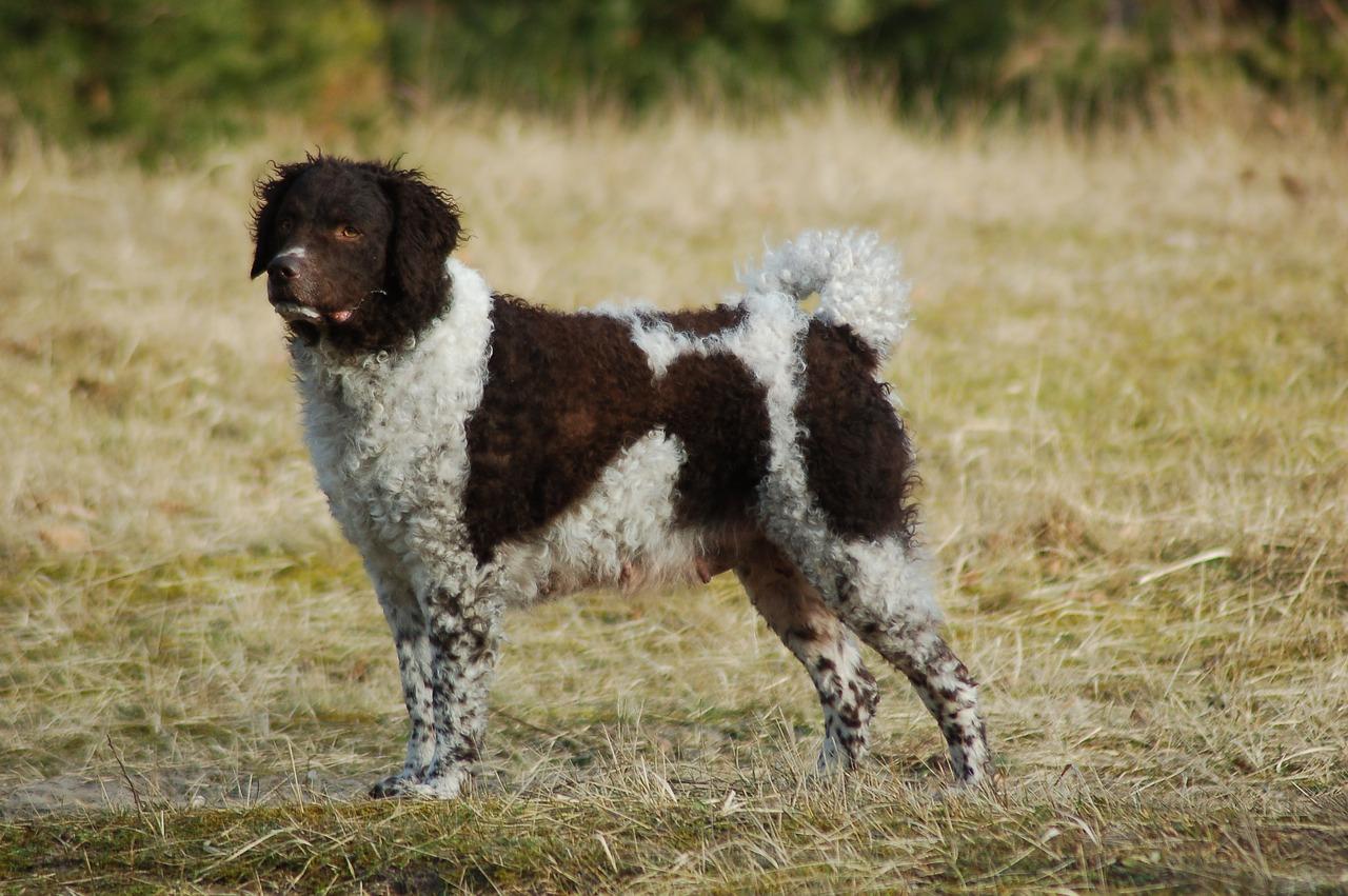 Friesischer Wasserhund