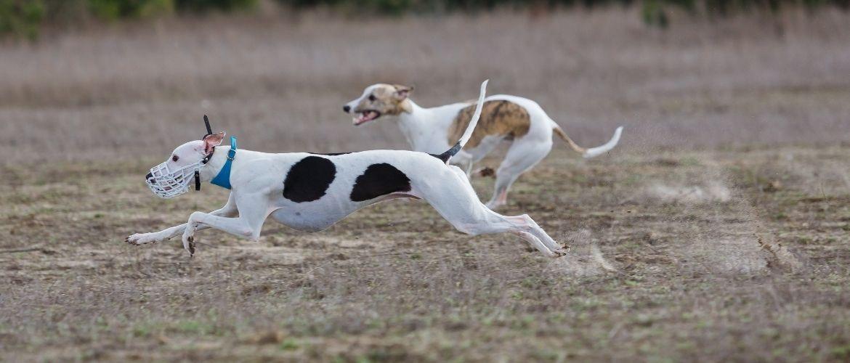 Zwei Hunde im Windhundrennen