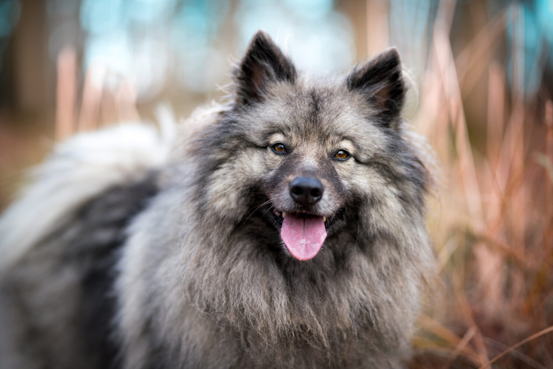 Wolfsspitz in der Natur
