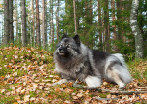 Wolfsspitz im Wald