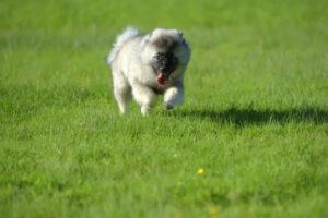 Wolfsspitz-Welpe im Auslauf