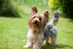 Yorkshire Terrier in der Natur
