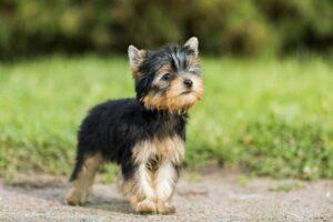Die Erziehung des Terriers sollte im Welpenalter beginnen