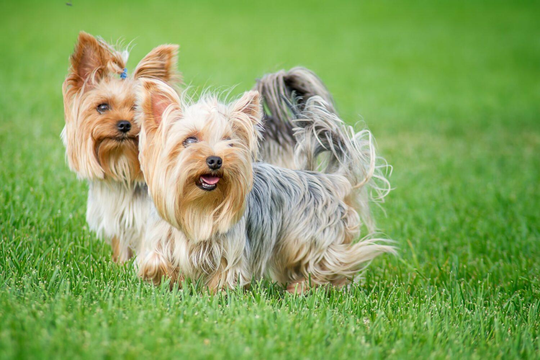 Zwei Yorkshire Terrier von der Seite