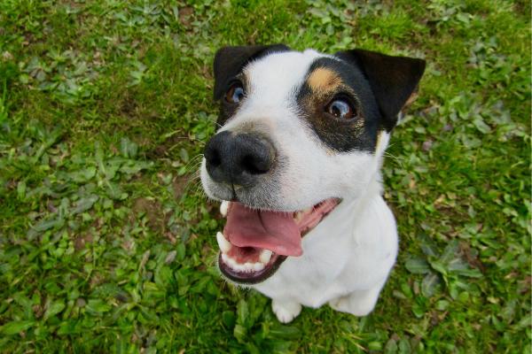 Zahnpflege beim Hund: Junghund