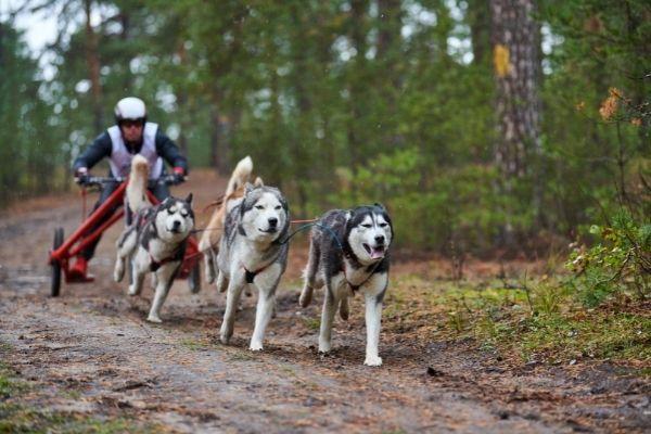 Zughundesport im Wald