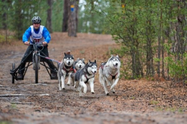 Zughundesport mit Huskys